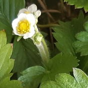 Strawberry Blossom