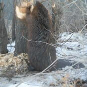 Big Beaver chewing a tree