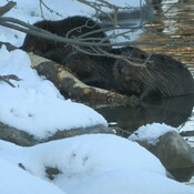 Three beavers sharing a log