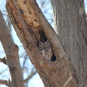 Eastern screech owl in Mississauga