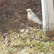 Albino Robin...a good sign.