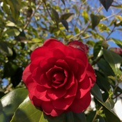 Rose Blooming