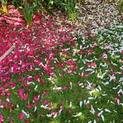 Blanket of Rose Petals