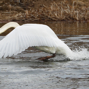 Mute Swan taking flight