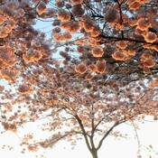 fascinating Cherry Blossoms