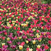 Beautiful spring tulips