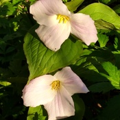 Trilliums Observed on Early Morning Walks
