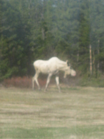 Beautiful White Moose West Bay Centre, NL