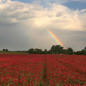 Poppies and rainbow