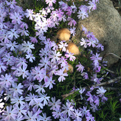 Creeping Phlox with some mushrooms.