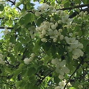 The apple blossoms