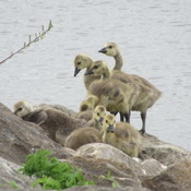 Goslings at Andy Haydon Park in Ottawa.