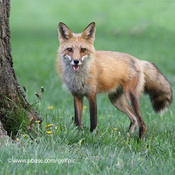 Red Fox is moulting