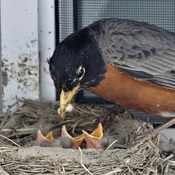 Robin feeding young ones