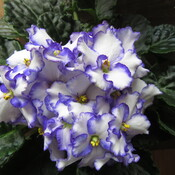 Purple/White African Violet