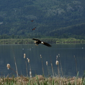 Bald Eagle being chased by two Red-winged Blackbirds at the Salmon Arm Wharf.