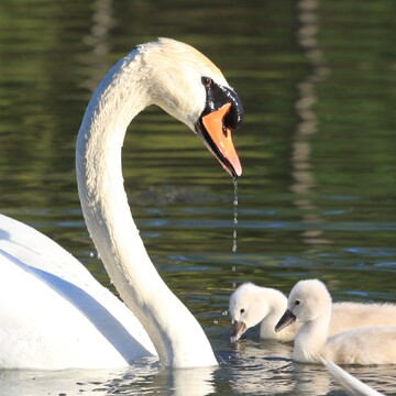Swan father keeping a watchful eye on 2 of his recently hatched cygnets
