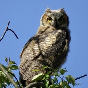 Fledged Great Horned Owl