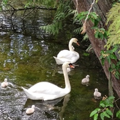 Swan Family in West Vancouver Pond