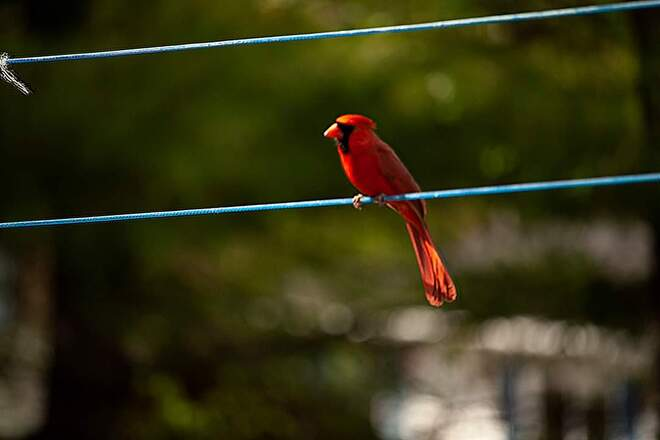 Cardinal on clothesline Nackawic, NB