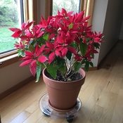 Poinsettia blooming in May