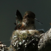 Anna's Humming bird nest