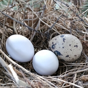 Nest With Two Different Types Of Eggs In It.