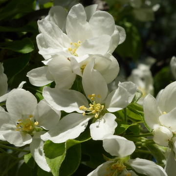 WHITE CRAB-APPLE BLOSSOMS
