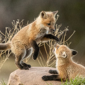 Playtime for the Fox Kits