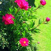 The pretty peonies