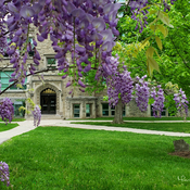 Wisteria at Western