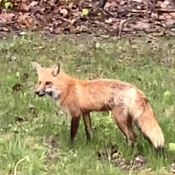 Woke up to find this Fox eating the fallen bird seed below my feeders.