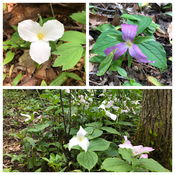 Trilliums along Speed River