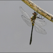 Dragonfly, Elliot Lake.