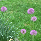 New allium