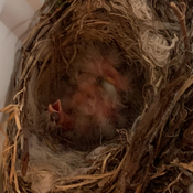 Baby Finches