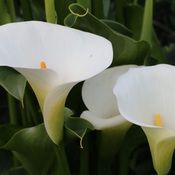 white callalily flowers