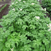 White Flowers of Potatoes