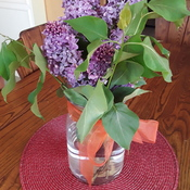 "lilacs ""borrowed"" from my neighbour"