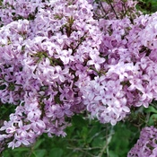 Lilacs at the RGB in Hamilton