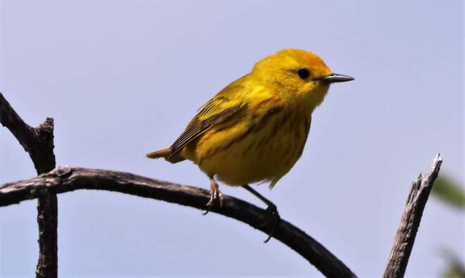 yellow Warbler Pembroke, ON