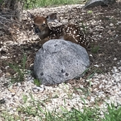 Baby deer on my lawn