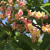 Red Horse Chestnut in bloom