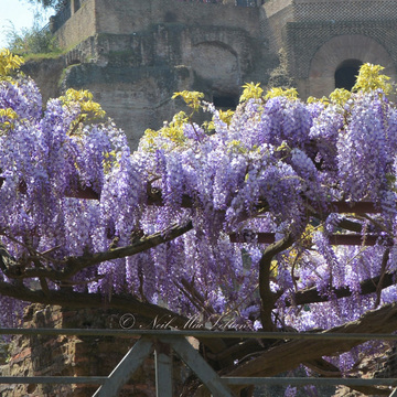 Lilacs in Rome