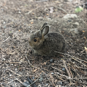 Baby bunny in Boswell