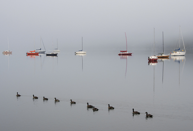 Canadian geese on a foggy morning Nelson, BC