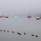 Canadian geese on a foggy morning