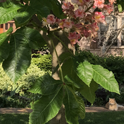Red HorseChestnut in bloom and Orange Cat