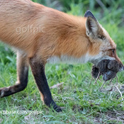 Fox with 5 voles