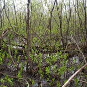 typical northern swamp